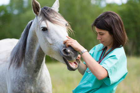 40342677 - veterinary great performing a scan to a young mare